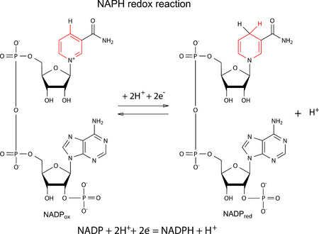 Illustration of NADP redox reaction with chemical formulas with marked variable fragments, vector, isolated on white Illustration