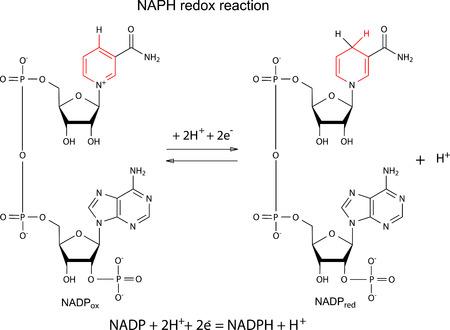 Ilustración de la reacción redox NADP con fórmulas químicas con fragmentos variables marcadas, vector, aislado en blanco