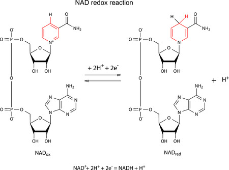 Illustration of NAD redox reaction with chemical formulas with marked variable fragments, vector, isolated on white Illustration