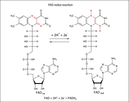 nucleotide: Illustration of FAD redox reaction with chemical formulas  marked variable fragments , vector, isolated on white