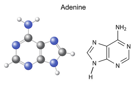 adenine: Chemical structural formula and model of adenine  DNA and RNA nitrogen base