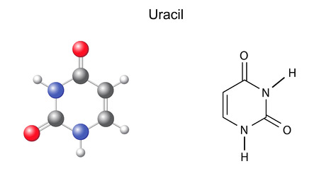 nucleotide: Chemical structural formula and model of uracil  RNA nitrogen base