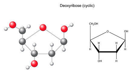 acyclic: Structural chemical formula and model of deoxyribose