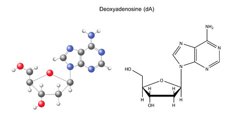 Structural chemical formula and model of deoxyadenosine, 2D and 3D illustration, isolated on white background