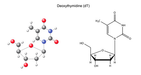Structural chemical formula and model of deoxythymidine, 2D and 3D illustration, isolated on white background Vector