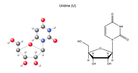 Structural chemical formula and model of uridine, 2D and 3D illustration, isolated on white background Vector
