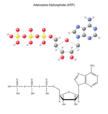 triphosphate: Structural chemical formula and model of adenosine triphosphate  ATP, energy source , 2D and 3D illustration, isolated on white background Illustration
