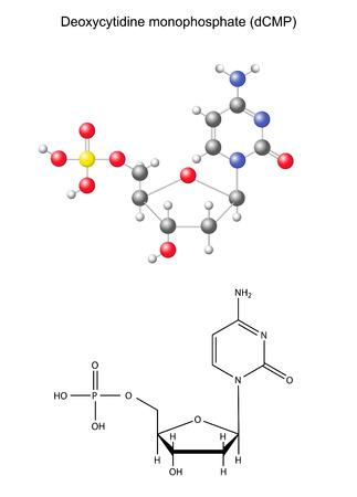 monomer: F�rmula qu�mica estructural y el modelo del componente de ADN monofosfato desoxicitidina, ilustraci�n 2D y 3D, aislado en fondo blanco, vector