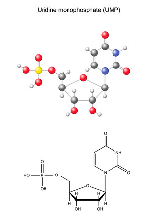 Structural chemical formula and model of uridine monophosphate  RNA component , 2D and 3D illustration, isolated on white background