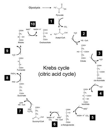 Kémiai rendszere Krebs ciklusban - trikarboxilsav- citromsav ciklusban, 2d illusztráció, elszigetelt fehér háttér