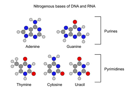Purine and pyrimidine nitrogenous bases - structural chemical formulas, 2d illustration, isolated on white background, circles and sticks style, vector, eps 8