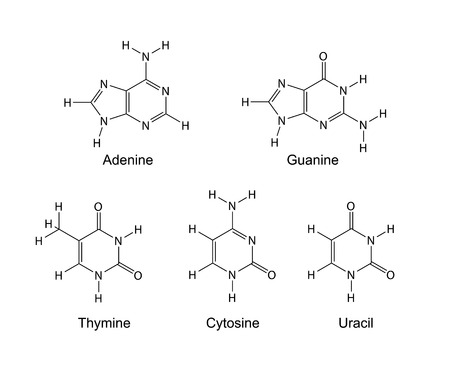 bases: Purine and pyrimidine nitrogenous bases - structural chemical formulas, 2d illustration, isolated on white background, skeletal style, vector, eps 8 Illustration