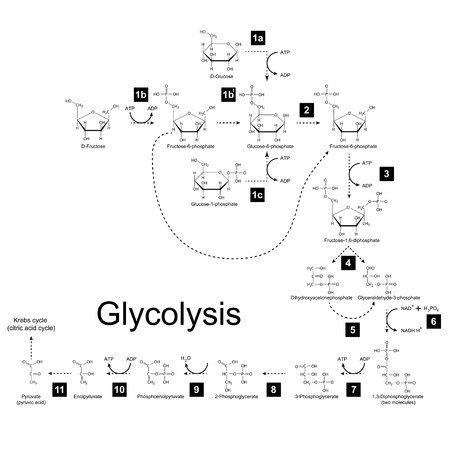 Chemical scheme of glycolysis metabolic pathway, 2d illustration on white background; vector, eps 8