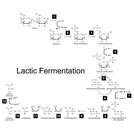 fruttosio: Schema chimica di acido lattico via di fermentazione metabolica, 2d illustrazione su sfondo bianco; vettoriale, eps 8