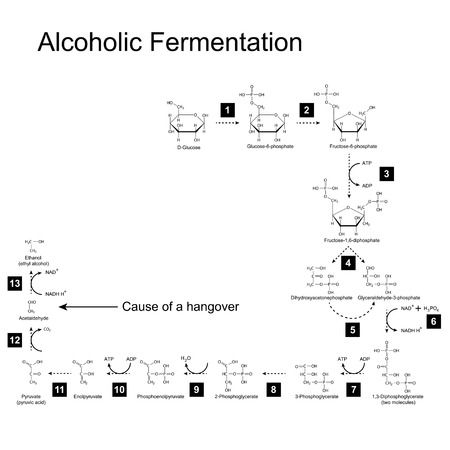 fructose: Chemical scheme of alcoholic fermentation metabolic pathway, 2d illustration on white background; vector, eps 8
