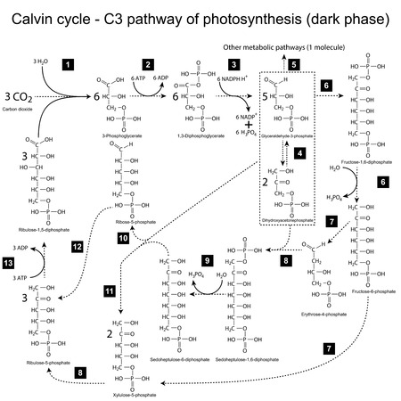 ferment: Chemical scheme of Calvin cycle - C3 pathway, 2d illustration