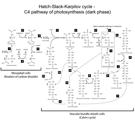 Chemical scheme of Hatch Slack Karpilov cycle