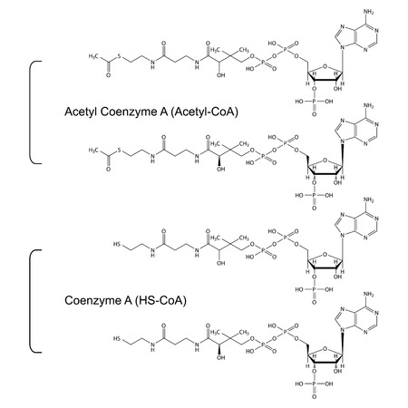synthesis: Coenzyme A and Acetyl Coenzyme A - structural chemical formulas, 2d illustration, skeletal style, isolated