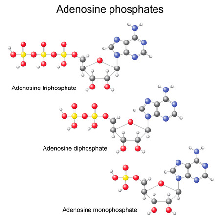 triphosphate: Models of ATP, ADP and AMP, 3d isolated, ball and stick, vector, eps 8
