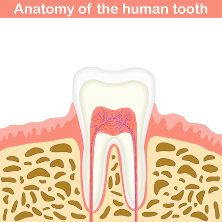 cementum: Anatomy of human tooth illustration, unmarked medical scheme, 2d vector on white background,  Illustration
