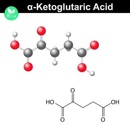 metabolism: alpha-Ketoglutaric acid molecule, oxoglutarate, structural chemical formula and model, 2d & 3d vector, isolated on white background Illustration