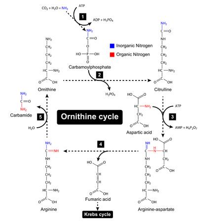 Ornithin-Zyklus mit Farbe Fokus von Stickstoffquellen, Harnstoffzyklus, metabolische Bildung, 2D-Darstellung, Vektor isoliert auf weißem Hintergrund Standard-Bild - 62474066