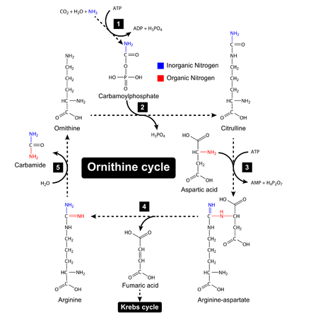 amoniaco: Ornithine cycle with color focus of nitrogen sources, urea cycle, metabolic formation, 2d illustration, vector isolated on white background Vectores