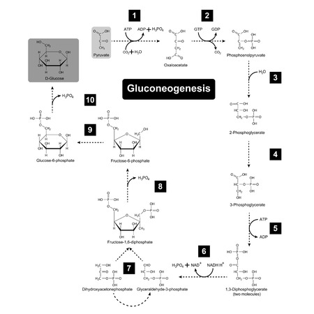 biosynthesis: Gluconeogenesis metabolic pathway, 2d biochemical process vector illustration on white background, eps 8