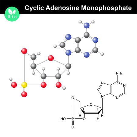 Cyclic adenosine monophosphate chemical structure and model, important signaling molecule, scientific 3d vector illustration, isolated on white background 矢量图像