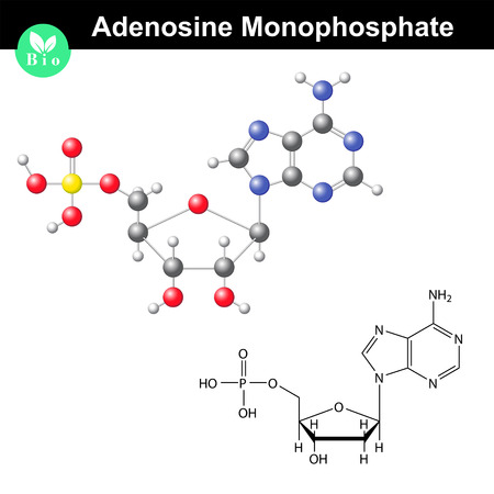 Adenosine monophosphate chemical structure and model, AMP is nucleotide monomer of RNA molecule, scientific 3d vector illustration, isolated on white background