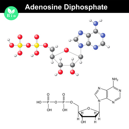 phosphate: Adenosine diphosphate chemical structure and model, ADP is important bioorganic compound in metabolism, scientific 3d vector illustration, isolated on white background Illustration