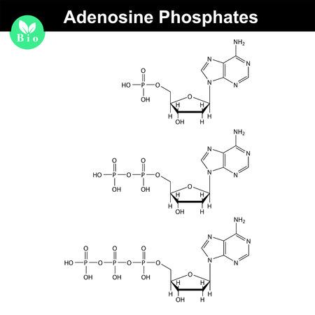 ATP, ADP 및 AMP 화학 구조, 골격 스타일, 2d 화학 벡터 일러스트 레이 션, 흰색 배경에 고립 일러스트