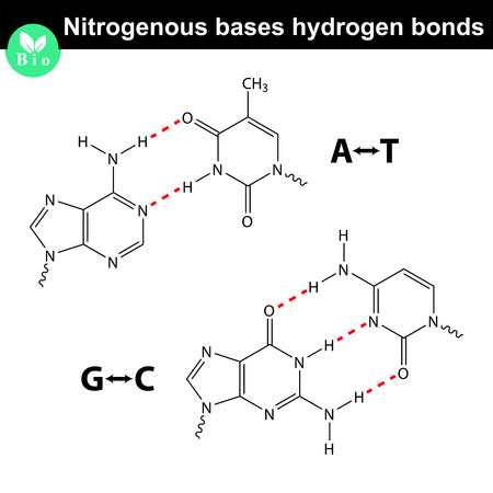 Nitrogenous bases molecular structures and hydrogen bonds between them, adenine, thymine, guanine, cytosine molecules - DNA parts, scientific 2d vector illustration, isolated on white background 矢量图像