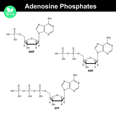 adenine: ATP, ADP and AMP chemical structures, skeletal style, 2d chemical vector illustration, isolated on white background