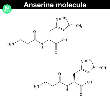 Anserine peptide, beta-alanyl-N-methylhistidine, oxidative stress biological marker, scientific 2d vector illustration, isolated on white background 矢量图像