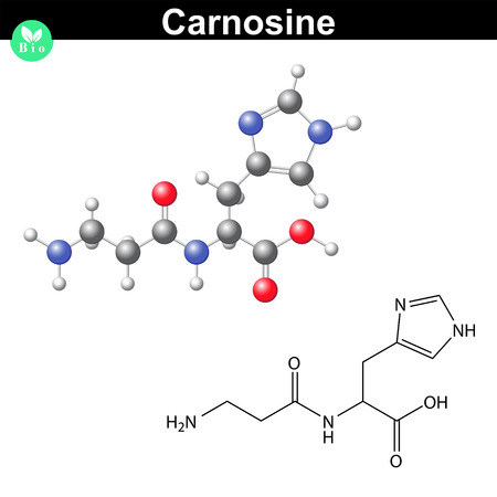 Carnosine natural peptide - animal antioxidant molecule, scientific 2d and 3d vector illustration, isolated on white background