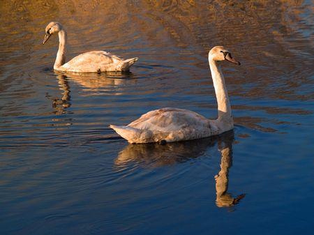 glide: Cob and pen glide at lake