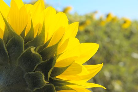 sunflower field Stock Photo - 5485900