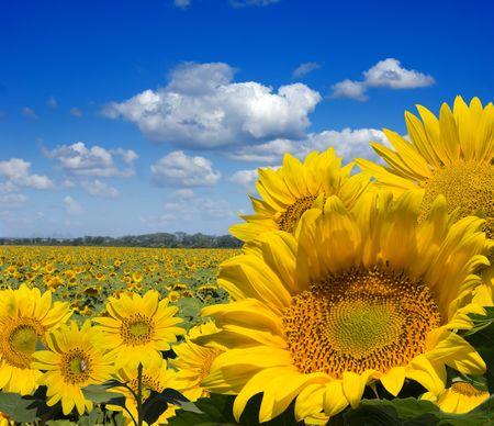 zonnebloem: zonnebloem veld
