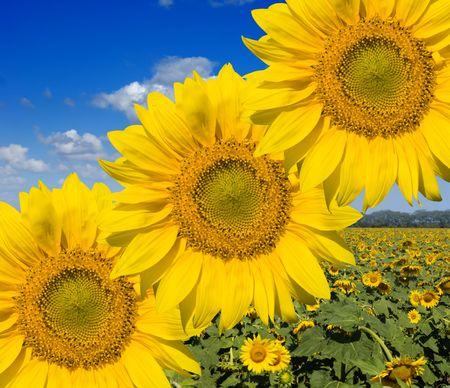 sunflower field Stock Photo - 5485993