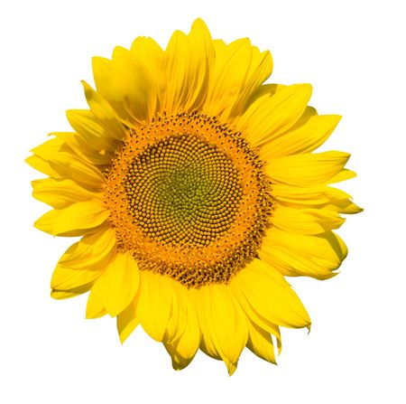 refined glome of sunflower isolated photo