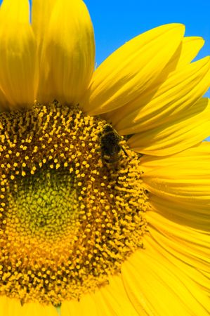bee is working on refined sunflower photo