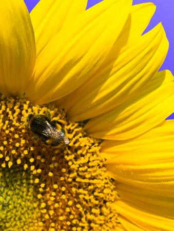 small bee is working on refined sunflower photo