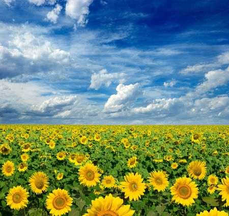 beautiful landscape of sunflowers