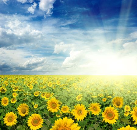 beautiful landscape of sunflowers