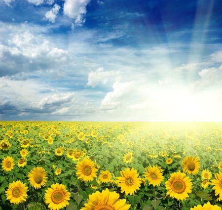 sol radiante: hermoso paisaje de girasoles  Foto de archivo