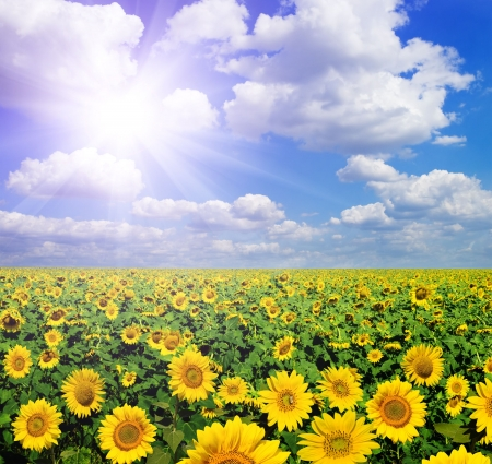 beautiful landscape of sunflowers photo