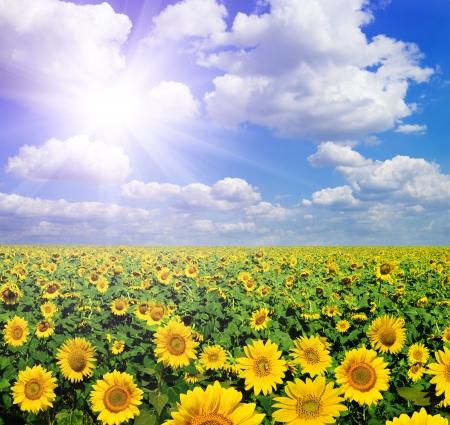 semillas de girasol: hermoso paisaje de los girasoles