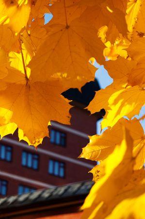 Maple leafes near brick house photo