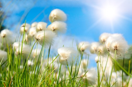 Several whites fluffes on green field Stock Photo